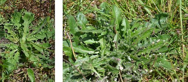feuilles porcelle enracinée