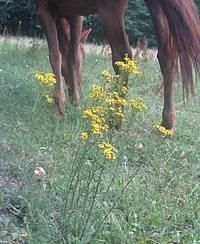 séneçon et cheval